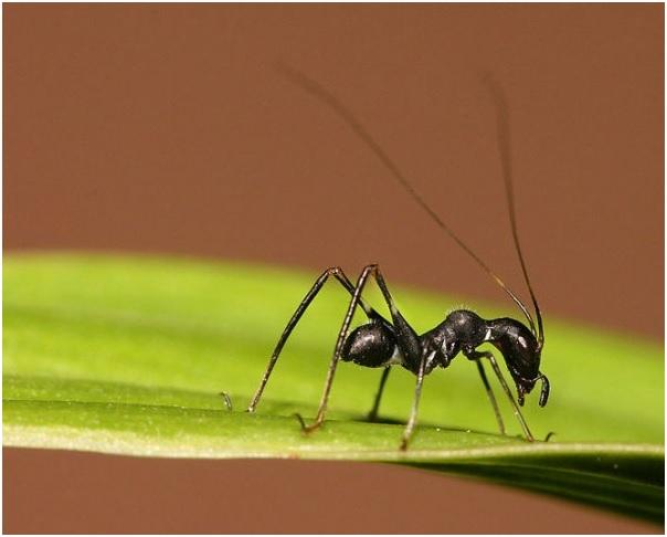 муравей хищник