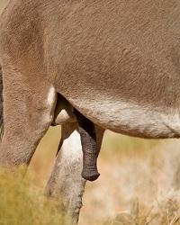 пенис у лошади