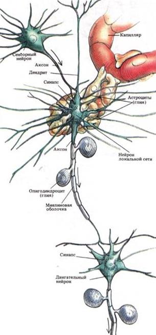 состав мозга