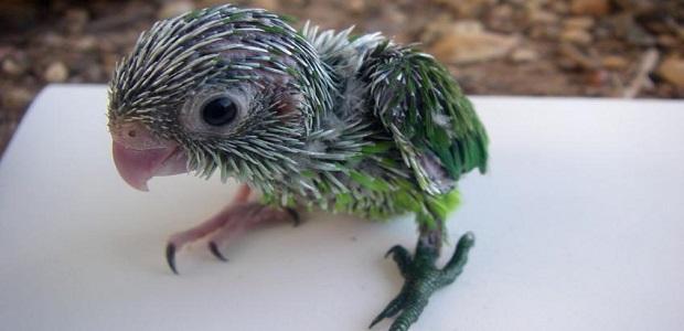 звук издаваемый попугаем