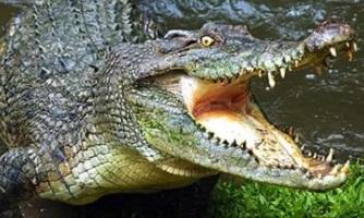 сколько живет крокодил