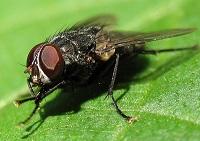 сколько живет муха