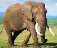 сколько живут слоны