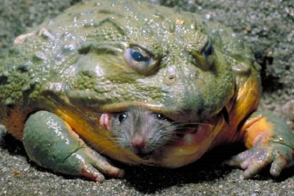 ядовитая лягушка