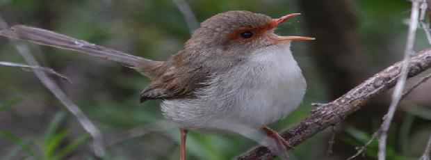 зачем птицы поют