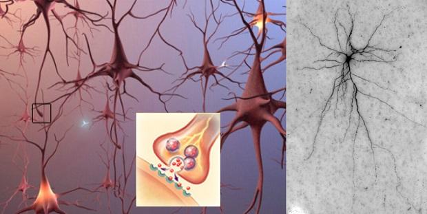 нервный синапс