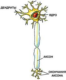 восстанавливаются ли нервные клетки