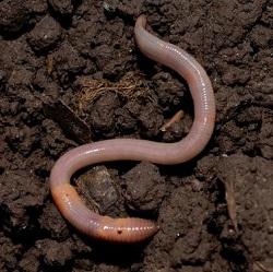 сколько живут черви