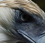 особенности орлов