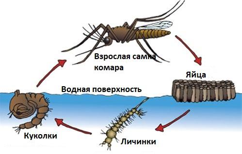 Как долго живут комары